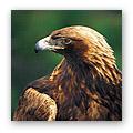 golden eagles fall prey